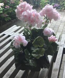 Rosa pelargonie