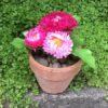Blomster i mini lerpotte