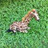 Giraf der ligger ned