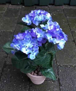 Blå Hortensia i lerpotte