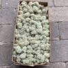 Lysgrå kasse Islandsk mos