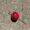 Rødt æble på tråd