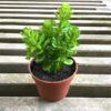 Dekorativ plante i potte
