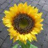 Stor gul solsikke